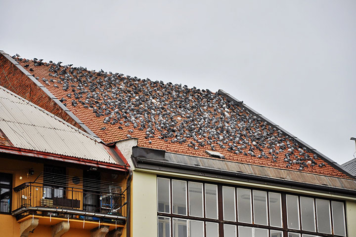 A2B Pest Control are able to install spikes to deter birds from roofs in Glasgow.